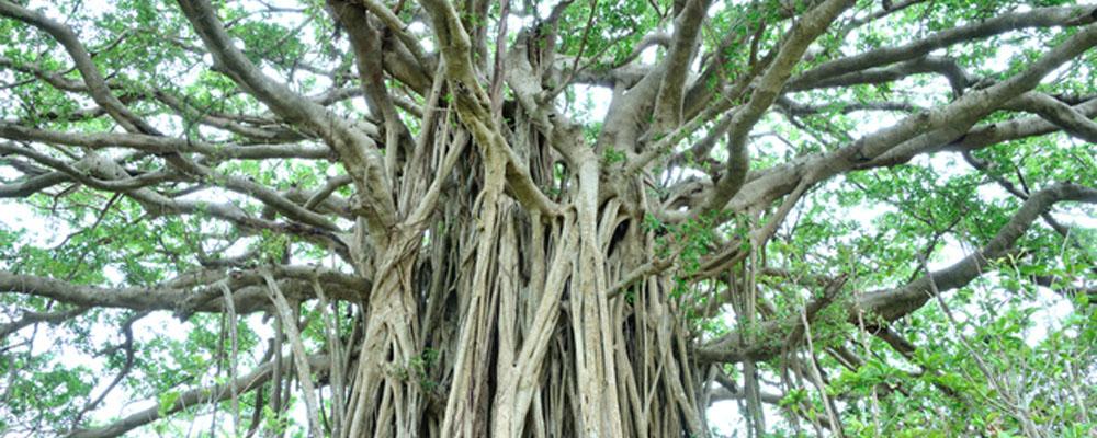 ガジュマロの木